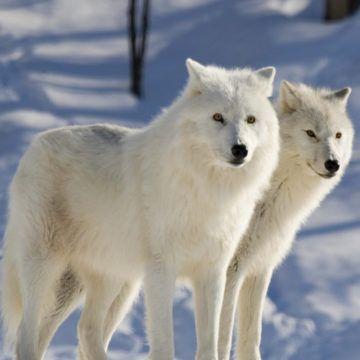 У вінницький зоопарк везуть полярних вовків