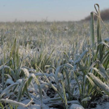 На вінницьких полях вимерзає майбутній врожай зернових