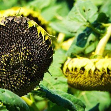 Вінницька область у ТОП-3 за врожайністю соняшника