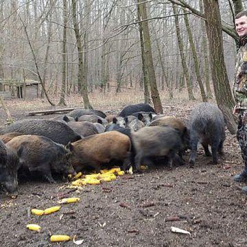 Вінницькі лісівники відновлюють поголів'я диких кабанів