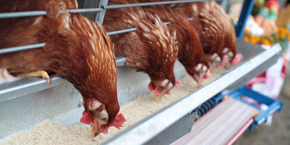Молдову теж налякав вінницький пташиний грип - заборонено ввезення птиці й яєць з України