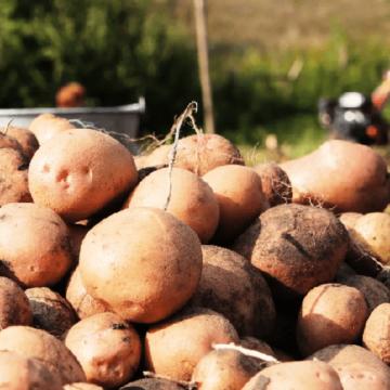 Вінницька область лідирує за врожайністю картоплі в країні