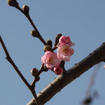 Дивовижа: у Вінниці розквітли сакури