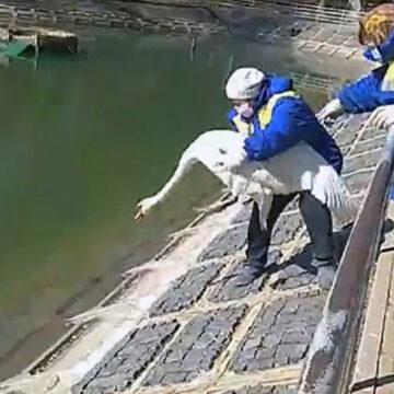 У парковому озері в центрі Вінниці знов оселились лебеді