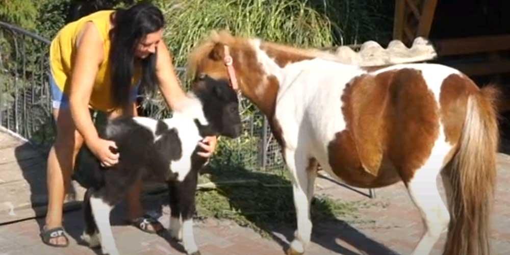 Вінничани можуть дати ім'я новонародженій шотландській поні