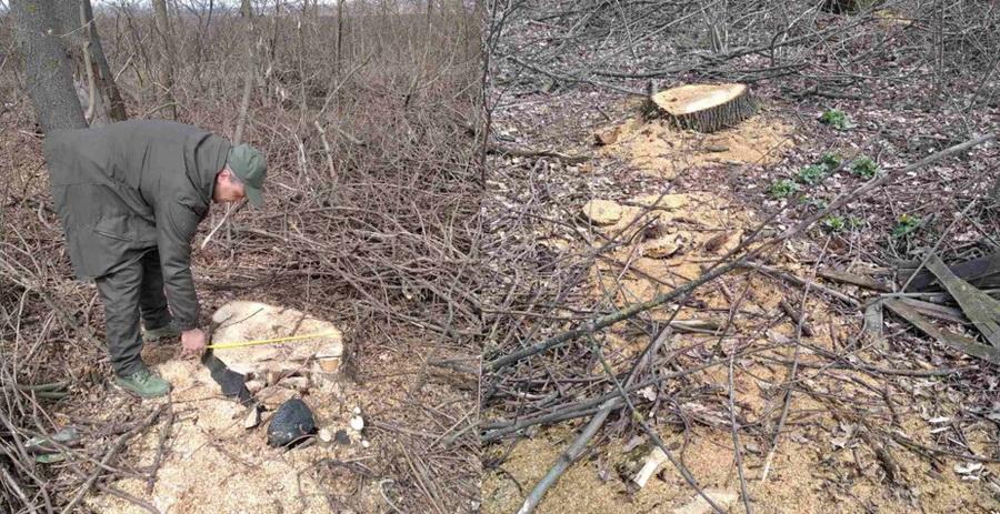 У Вінницькому районі невідомі вирубали дерев більш ніж на півмільйона гривень