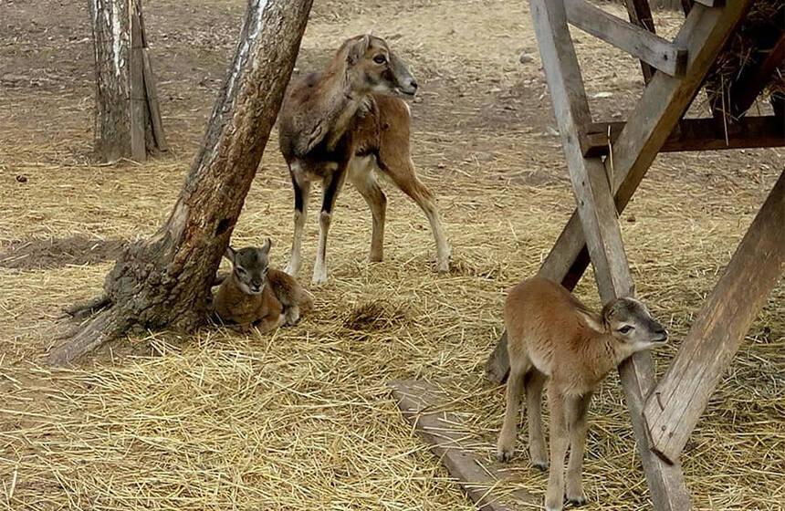 У міському зоопарку поповнення: народилось четверо муфлонів