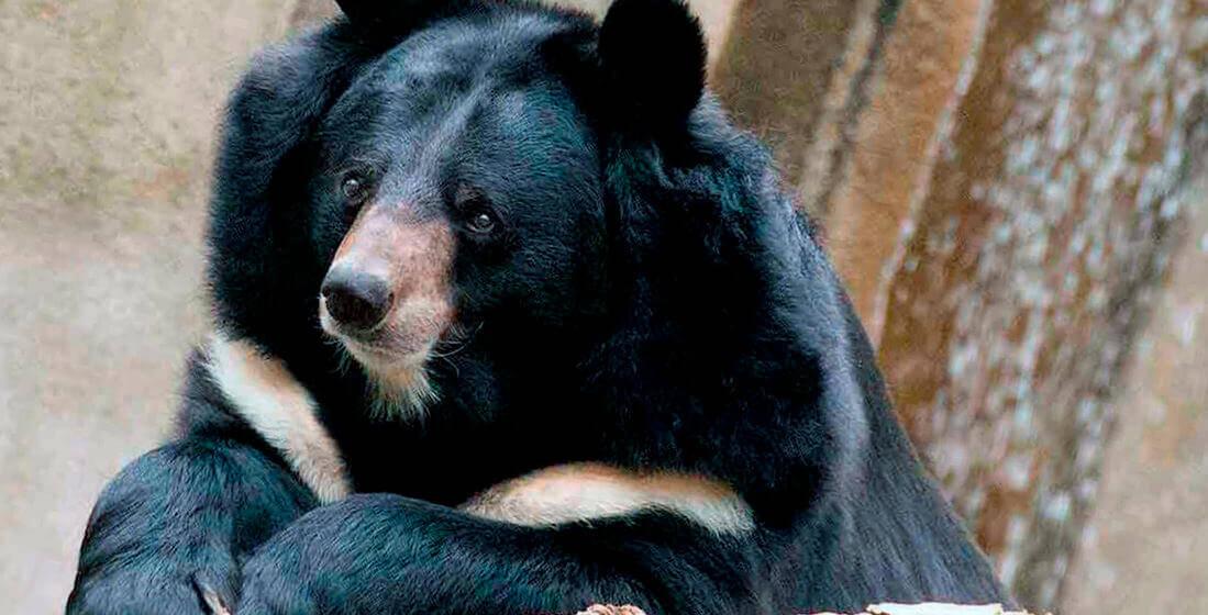 У гімалайських ведмедів з'явився опікун